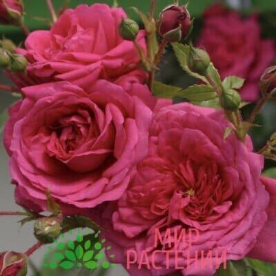 Роза плетистая Laguna. Лагуна. Кордес.