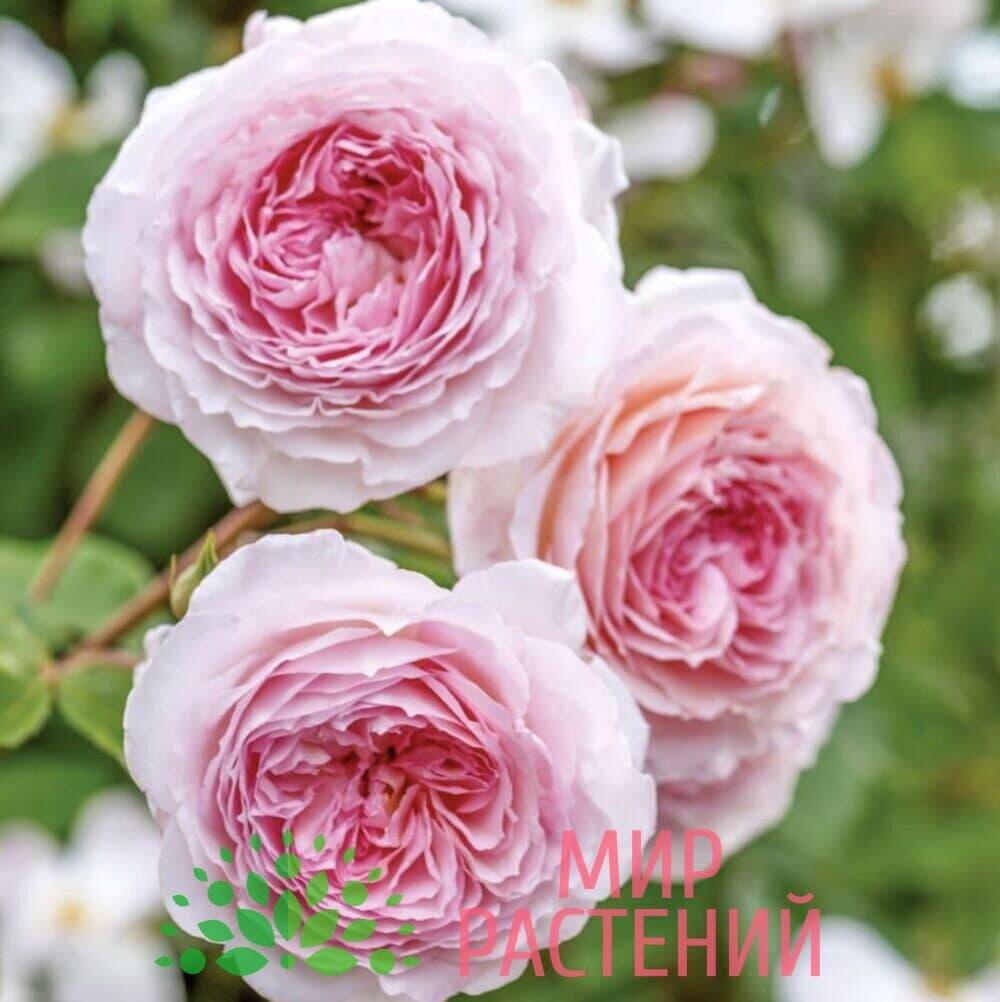 Роза Дэвид Остин Джеймс Галвей David Austin James Galway 1
