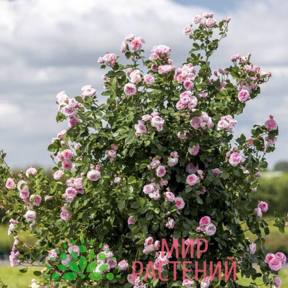 Роза Дэвид Остин Джеймс Галвей David Austin James Galway 3