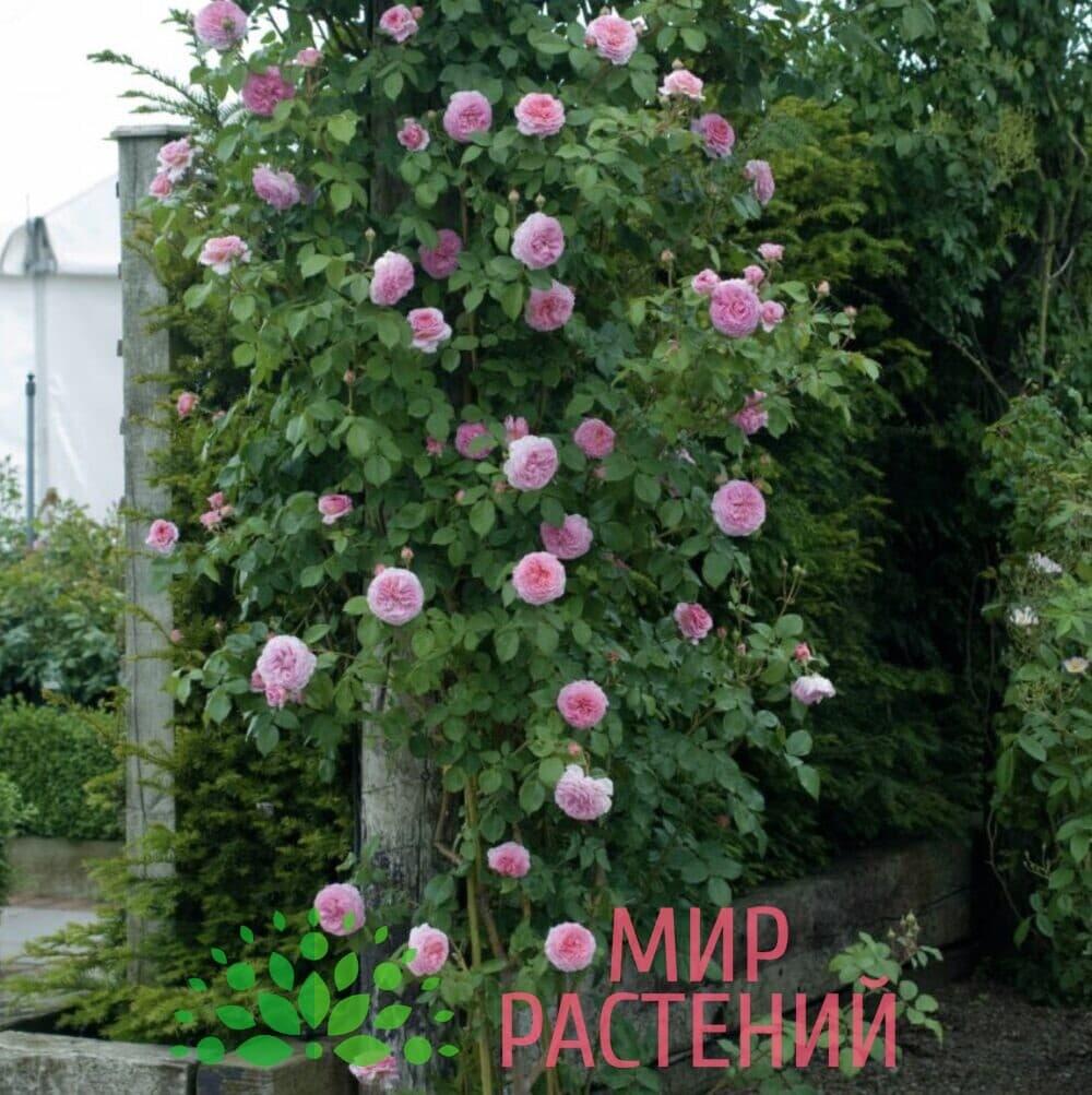 Роза Дэвид Остин Джеймс Галвей David Austin James Galway 4