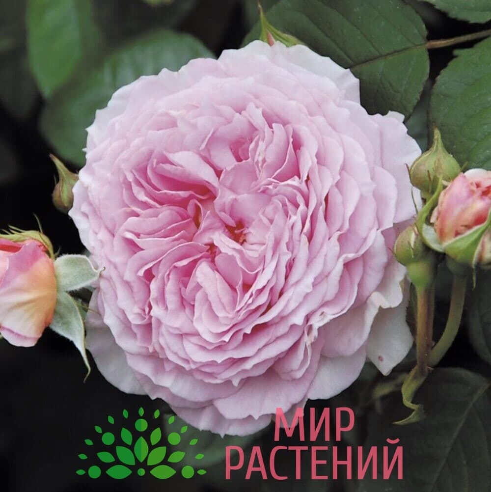 Роза Дэвид Остин Джеймс Галвей David Austin James Galway 6