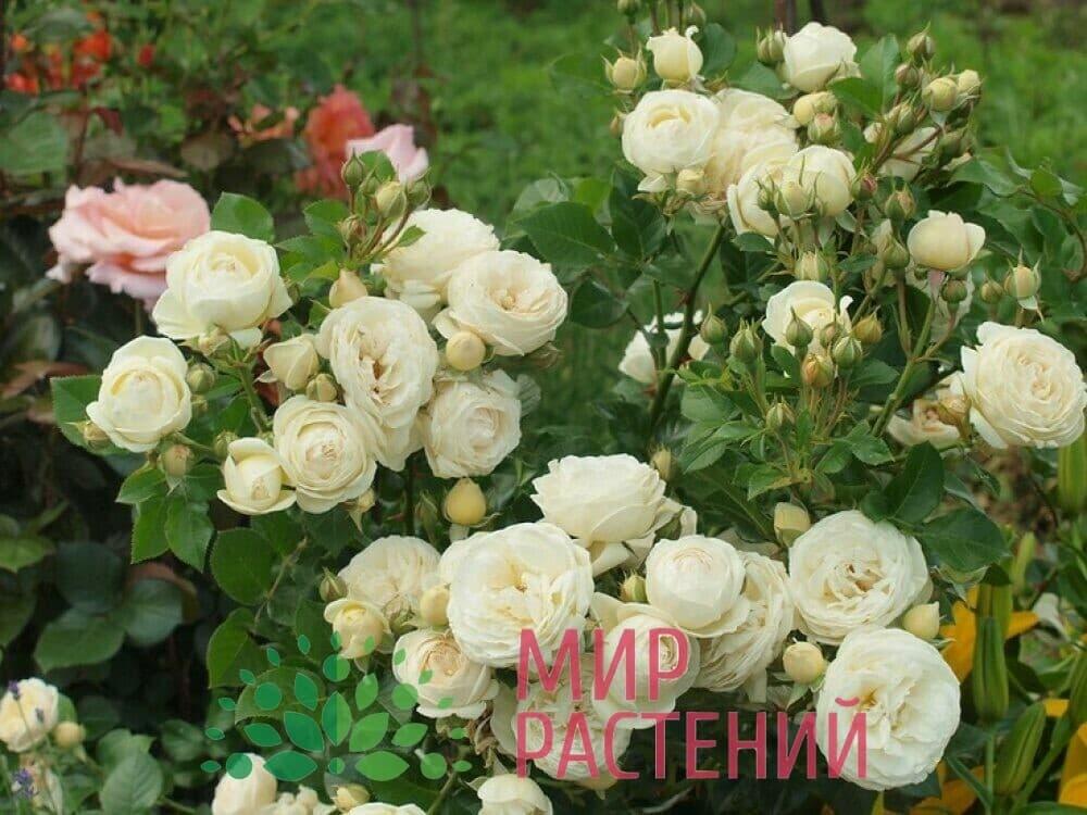 Роза кустовая Artemis Артемис Тантау 1