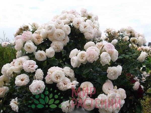 Роза кустовая Artemis Артемис Тантау 2
