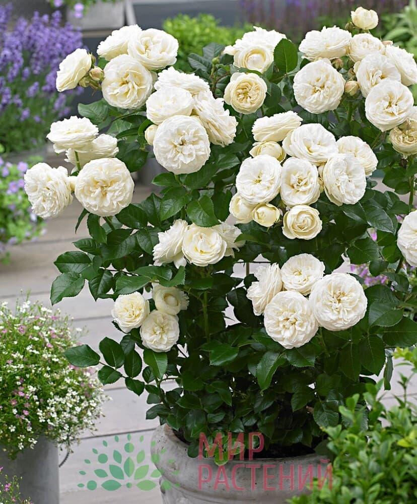 Роза кустовая Artemis Артемис Тантау 3