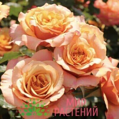 Роза кустовая La Villa Cotta. Ла Вила Кота. Кордес.1