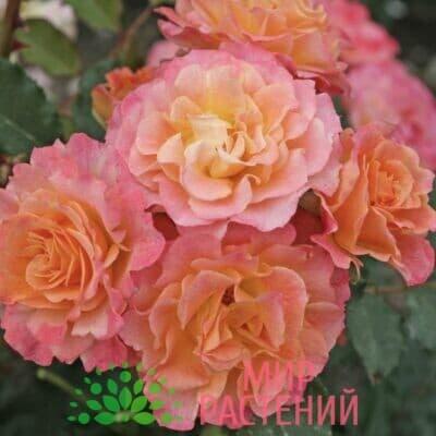 Роза кустовая Landlust. Лендласт. Кордес.1