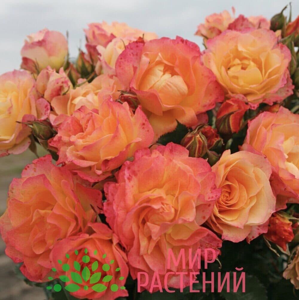 Роза кустовая Landlust. Лендласт. Кордес.2