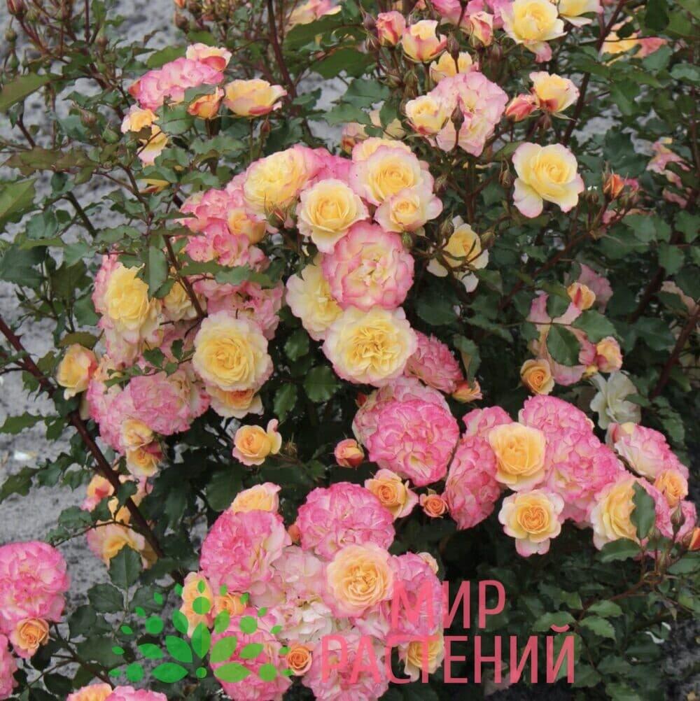 Роза кустовая Landlust. Лендласт. Кордес.3