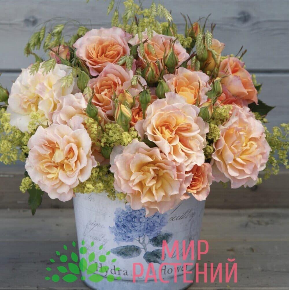 Роза кустовая Landlust. Лендласт. Кордес.4