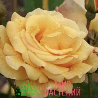 Роза кустовая Postillion. Постилиан. Кордес.1