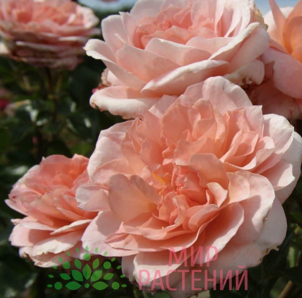 Роза кустовая Schloss Eutin. Шлёс Ойтин. Кордес.1
