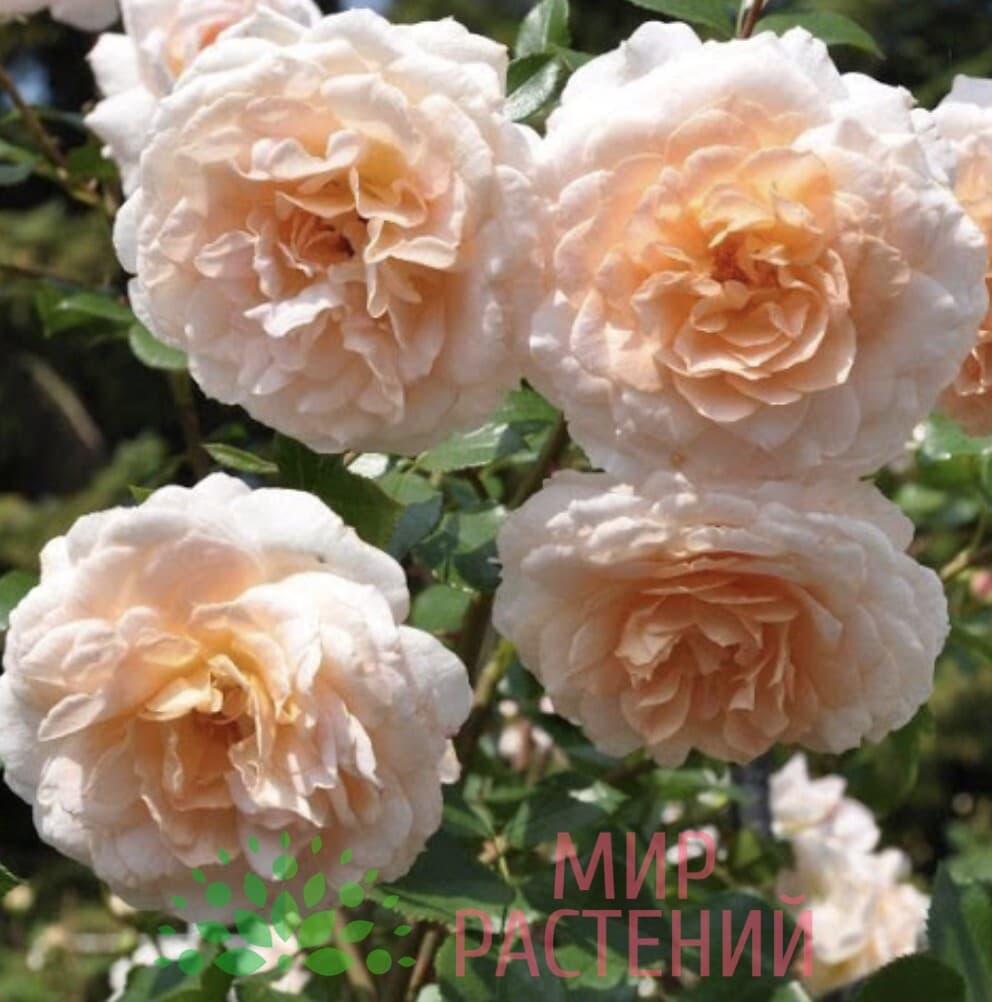 Роза кустовая Schloss Eutin. Шлёс Ойтин. Кордес.2