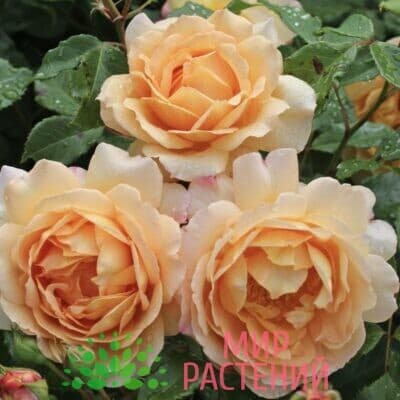Роза кустовая Sonnenwelt. Зоненвельт. Кордес.1