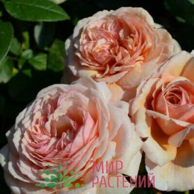 Роза плетистая A Shropshire Lad. Э Шропшир Лэд. Дэвид Остин.