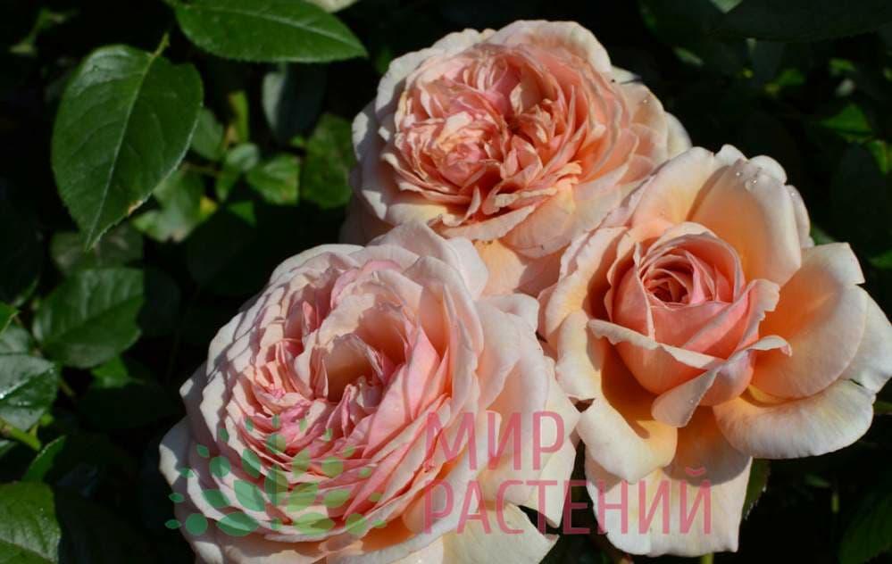 Роза плетистая A Shropshire Lad Э Шропшир Лэд Дэвид Остин 1