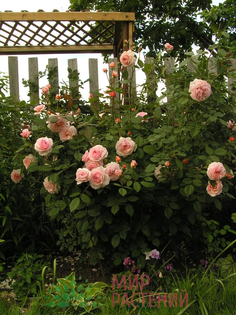 Роза плетистая A Shropshire Lad Э Шропшир Лэд Дэвид Остин 2