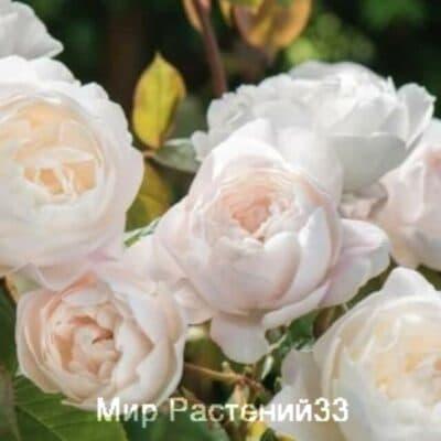 Роза кустовая Desdemona. Дездемона. Дэвид Остин.