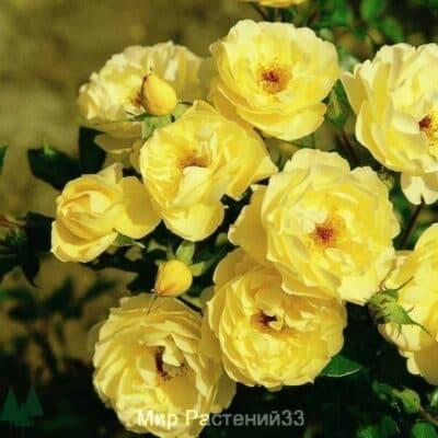Роза почвопокровная Sonnensсhirm. Зоненширм. Россия.