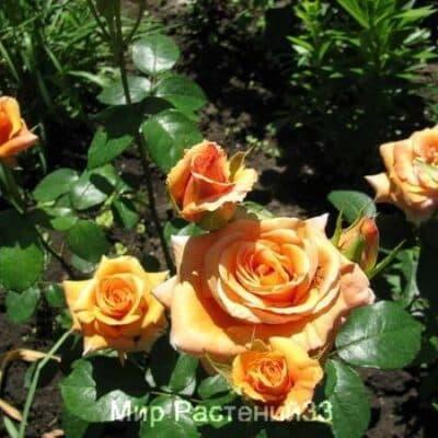Роза чайно-гибридная Луи де Фюнес. Louis de Funes. Россия.