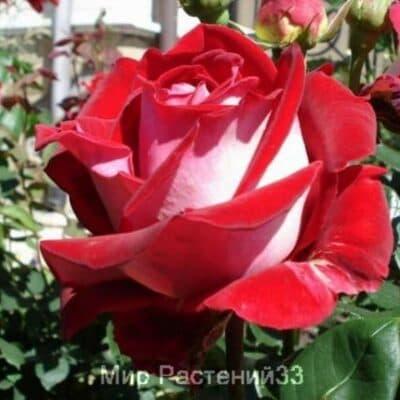 Роза чайно-гибридная Luxor. Люксор. Россия.