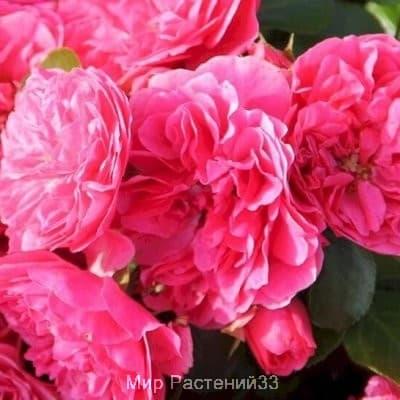 Роза почвопокровная Pink Swany. Пинк Свани. Россия.