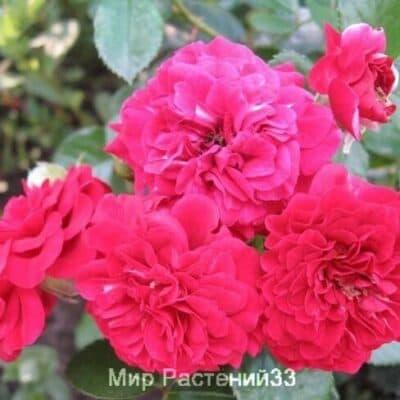 Роза почвопокровная Hello. Хелоу. Россия.