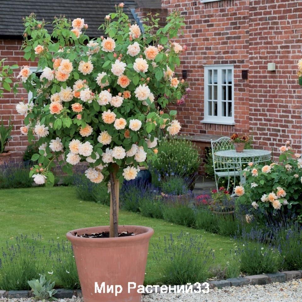 Розы дэвида остина на штамбе купить заказ цветов букет 1000 и 1 ночь