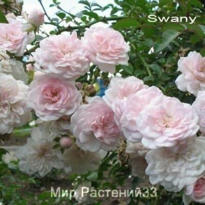 Роза почвопокровная Swany. Свани. Россия.
