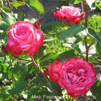 Роза флорибунда Sombrero. Собреро. Россия.