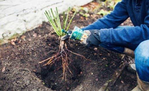 Как посадить куст роз с голой корневой системой