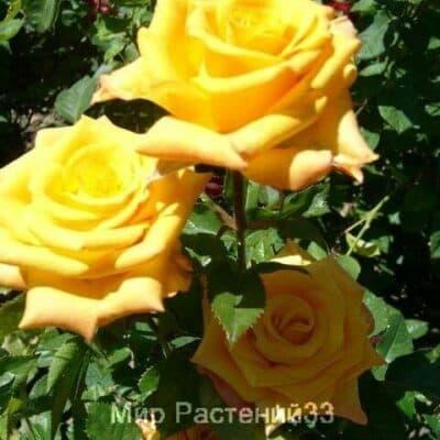 Роза чайно-гибридная Papillon. Папилон. Россия.