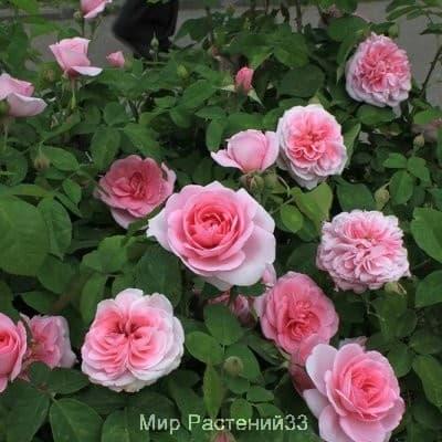Роза кустовая Gertrude Jekyll. Гертруда Джекилл. Дэвид Остин.