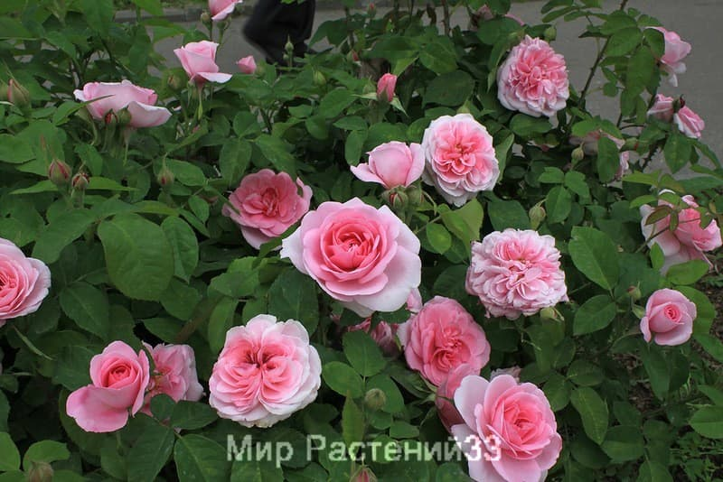 Купить саженцы розы во владимире дешево цветы купить в кривом рогу