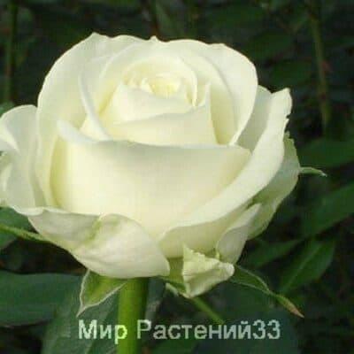 Роза чайно-гибридная Avalanche. Аваланш. Россия.