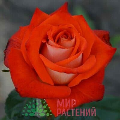 Роза чайно-гибридная Verano. Верано. Россия.
