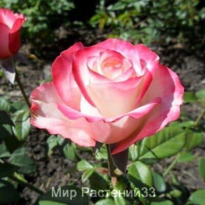 Роза чайно-гибридная Sweetness. Свитнес. Россия.