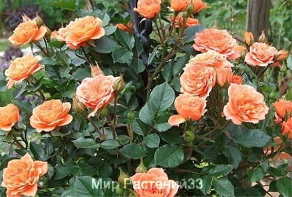 Роза чайно-гибридная Capri. Капри. Тантау.