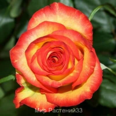 Роза чайно-гибридная High Magic. Хай Меджик. Россия.