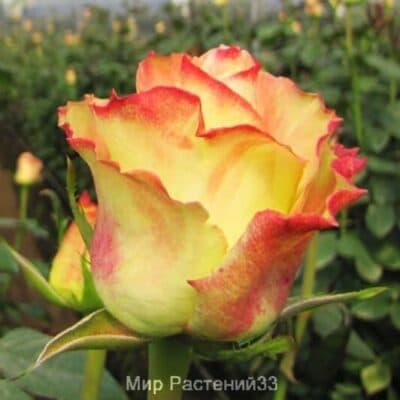 Роза чайно-гибридная Aubade. Аубейд. Россия.
