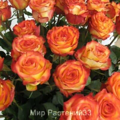 Роза флорибунда Circus. Сёркас. Россия.