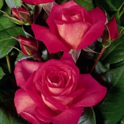 Роза плетистая Shogun. Шогун. Тантау.