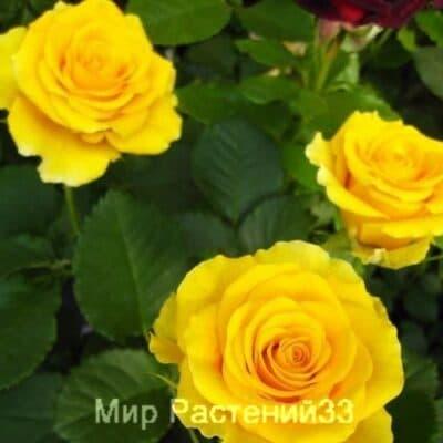 Роза чайно-гибридная Sphinx. Сфинкс. Россия.