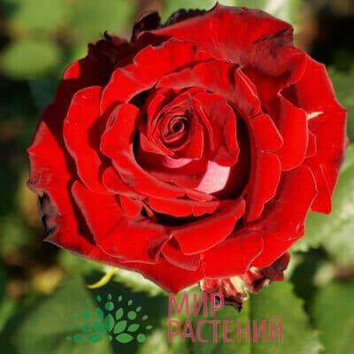 Роза флорибунда Ruby Red. Руби Ред. Россия.