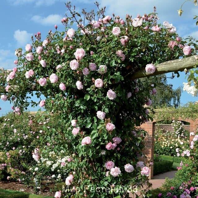 Роза плетистая The Generous Gardener. Зэ Дженерос Гардэнер. Дэвид Остин.