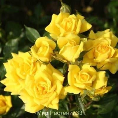 Роза почвопокровная Limesgold. Лаймсголд. Россия.