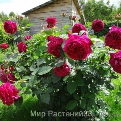 Роза кустовая Falstaff. Фальстаф. Дэвид Остин.