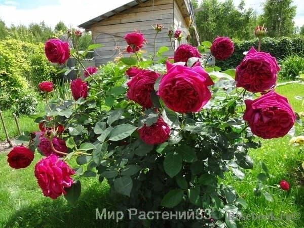 Роза фальстаф фото и описание
