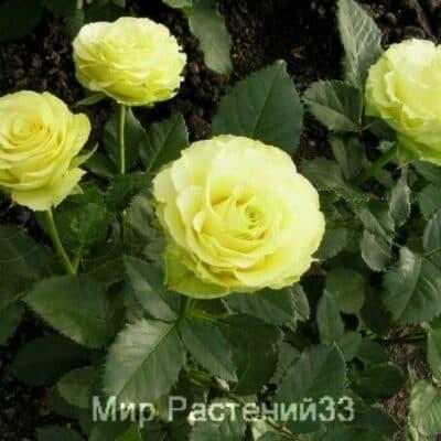 Роза чайно-гибридная Limbo. Лимбо. Россия.