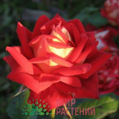 Роза чайно-гибридная New Fashion. Нью Фешн. Россия.