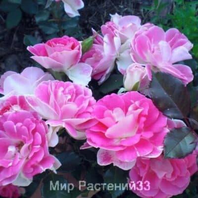 Роза флорибунда Regensberg. Регенсберг. Россия.